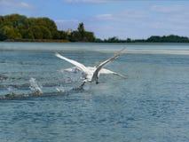 Svan som flyger över floden Royaltyfri Foto