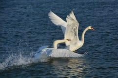 Svan som jagar en annan svan Royaltyfri Bild