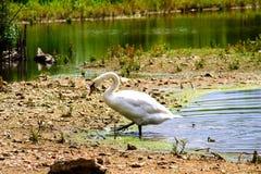 Svan som kommer ut ur vattnet av ett damm, medan gå royaltyfri bild