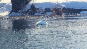 Svan som simmar nära dold flodstrand för snö Vattenfågel i vinterfloden lager videofilmer