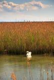 Svan som svävar på floden Arkivfoton