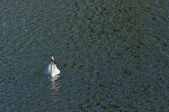 Svan som svävar på sjön Arkivbilder