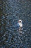 Svan som svävar på sjön på en bakgrund av vågor Fotografering för Bildbyråer