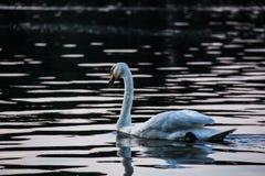 Svan som svävar på sjön på solnedgången Fotografering för Bildbyråer