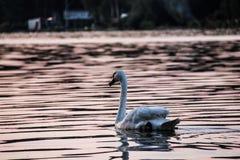 Svan som svävar på sjön på solnedgången Royaltyfri Bild