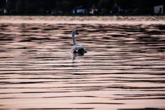 Svan som svävar på sjön på solnedgången Royaltyfri Foto