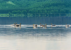 Svan som svävar på vattnet Royaltyfri Fotografi