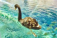 Svan som svävar på vattnet Royaltyfria Bilder
