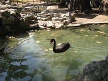 Svan svart, skönhet, damm, simning, solig dag royaltyfria bilder