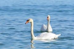 Svan två på turkosvatten royaltyfria bilder