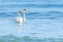 Svan två på turkosvatten arkivfoto