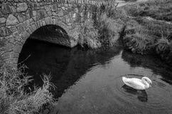 Svan vid bron Arkivbilder