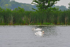 3 svanar fotografering för bildbyråer