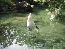 Svanar dyker för mat En vit svan med svart tafsar drar ut mat från botten av ett genomskinligt damm royaltyfria bilder