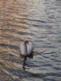 Svanar en simning Royaltyfri Bild