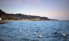 Svanar flockas av kust royaltyfri foto