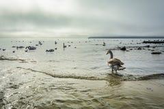 Svanar flockas i havet i en dimmig morgon Royaltyfria Bilder