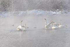 Svanar grälar den dimmiga vintern för sjön (Cygnuscygnusen) arkivbild