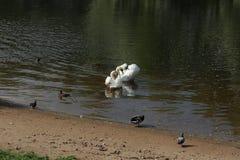 Svanar i dammet fotografering för bildbyråer