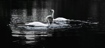 Svanar i en sjö fotografering för bildbyråer