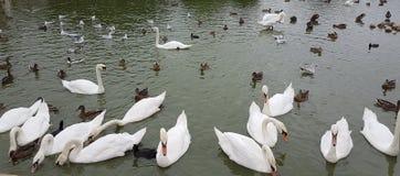 Svanar i en sjö arkivfoto