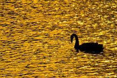 Svanar i fälten av den guld- sjön Arkivbild