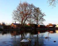 Svanar i floden arkivbilder