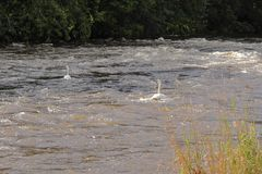 Svanar i floderna arkivfoton