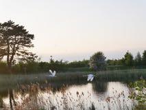 Svanar i flykten på en sjö i aftonen royaltyfria bilder