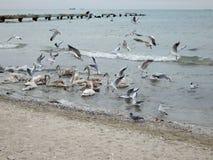 Svanar i Kaspiska havet arkivfoton