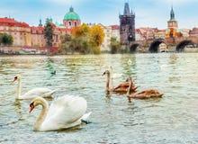 Svanar i Prague royaltyfri fotografi