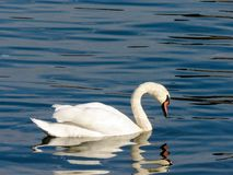 Svanar i Sava River royaltyfri fotografi