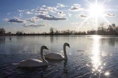 Svanar i sjön arkivfoto