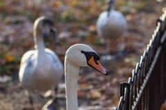 Svanar i St James Park royaltyfria bilder