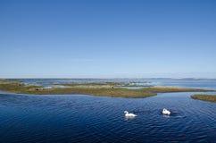 Svanar i våtmark Fotografering för Bildbyråer