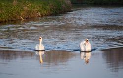 Svanar i vattnet av det Sandwell dallandet parkerar royaltyfria foton