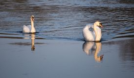 Svanar i vattnet av det Sandwell dallandet parkerar royaltyfri bild