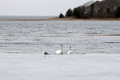 Svanar i vinter Arkivbild