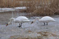 Svanar i vintern som matar fotografering för bildbyråer
