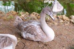 Svanar i zoo royaltyfri foto