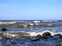 Svanar, kust för baltiskt hav och härliga stenar, Litauen Arkivbild