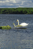 Svanar med fågelungar som simmar i Östersjön Arkivbild