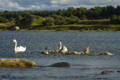 Svanar med fågelungar som simmar i Östersjön Royaltyfria Bilder