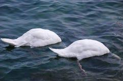 2 svanar med huvud under vatten Royaltyfri Bild