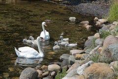 Svanar med unga svanar arkivbild