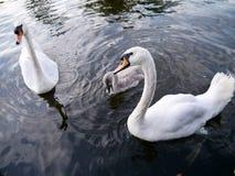 Svanar med unga svanen på vatten royaltyfri bild