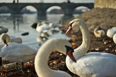 Svanar med ungar på floden royaltyfri foto
