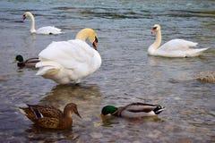 Svanar och änder på en flod Royaltyfria Bilder