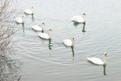 Svanar och änder på sjön arkivbild