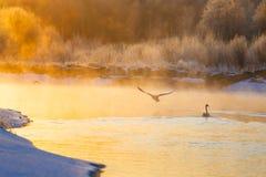 Svanar och änder på vintersjön på ljus soluppgång royaltyfri foto